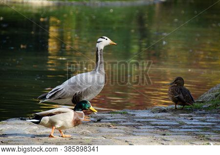 A Duck Is Enjoying The Sun On The Meadow Near Kleinhesseloher Lake In English Garden (englischer Gar