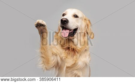 Golden retriever dog doing give paw trick on gray background