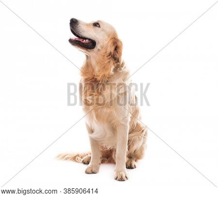 Golden retriever dog looking up to side