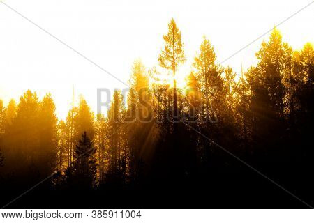 Sunbeams sunrays streaming through pine trees in forest with misty fog morning warmth