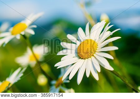 Wild Camomile Daisy Flowers Growing On Green Meadow And Copy Space, Natural Background