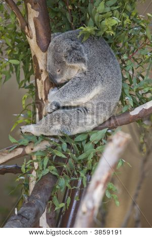 Koala Bear - Sleeping In Tree