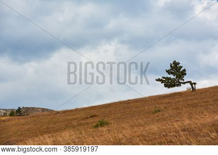 Desert Terrain And Virgin Nature Concept. Lonely Pine-tree In Meadow. Blue Cloudless Sky. Copy Space