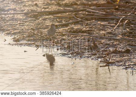 Sandpiper,wood Sandpiperin Shallow Water (tringa Glareola) Wader Birdsandpiper