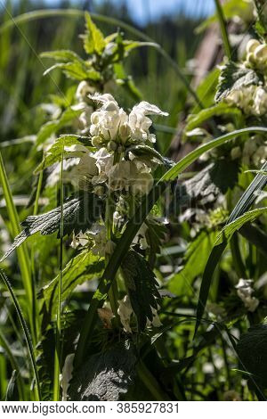 White Blossoms Of Deadnettles On The Green Meadow