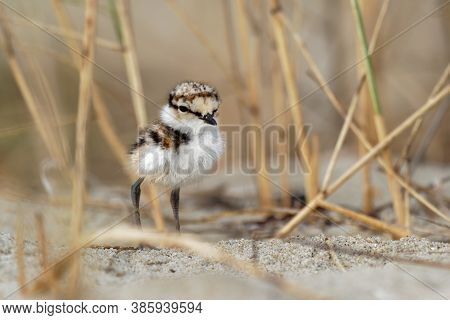Little Ringed Plover - Charadrius Dubius Young Chick Of Wader And Shorebird Species Feeding On The S