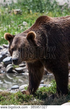A Brown Grizzly Bear Standing In The Sunshine Next To A Small Pond With Rocks And Grass In Montana.