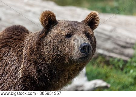 An Adult Grizzly Bear With A Curious Expression On Its Face In The Summer Sunshine In Montana.