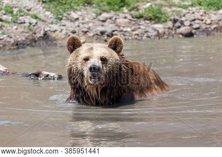 An Older Grizzly Bear Sitting In A Shallow Pond On A Hot Day And Looking Ahead At Its Sanctuary In M