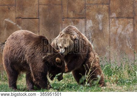 Two Grizzly Bears Have An Intense Conversation On A Hot Summer Day At Their Home In Montana.