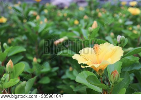 A Big Flower Of Hibiscus And The Green Leaves At The Nature