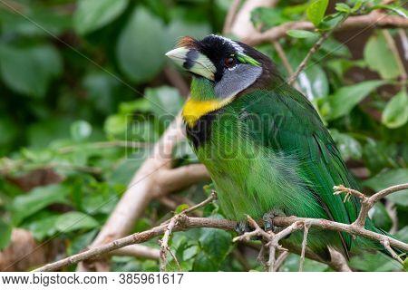 Fire Tufted Barbet (psilopogon Pyrolophus)  A Green Tropical Bird Native To Sumatra And The Malaysia