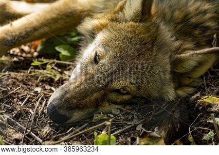 Young Grey Wolf Falling Asleep In The Autumn Sun