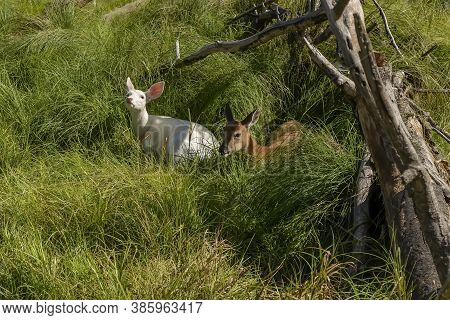 Two Fawns Of White-tailed Deer, One Rare White Color. Leucistic White-tailed Deer.