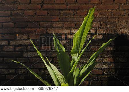 Turmeric / Inflorescence Of Turneric (curcuma Longa) Growing Near Red Brick Wall