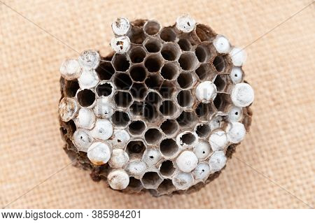 Wasp Nest With Larvae Isolated On Jute Background - Asian Giant Hornet Or Japanese Giant Hornet (ves
