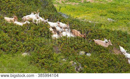 Herd Of Goats Graze In A Meadow In The Mountains, A Shepherd And Herding Dogs Look After The Animals