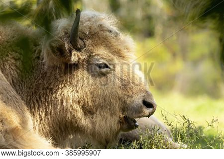 Rare White Buffalo Or White Bison Head Detail. It Was Considered By Native Americans To Be Sacred Or