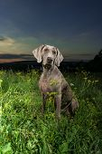 Weimaraner dog sitting in a field of wild grass outdoors with the setting sun behind it poster