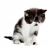 beauty persian kitten isolated on white background poster