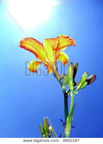 Yellow Red Lily Lilium - Asiatic Hybrid