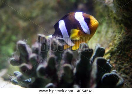 Clarke's Anemonefish (amphiprion Clarkii)