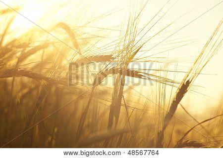 Weizenfeld auf dem Hintergrund der untergehenden Sonne