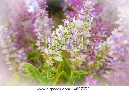 Clary Sage, Salvia Sclarea