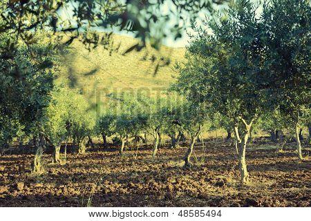 Olive trees garden, mediterranean olive field ready for harvest.