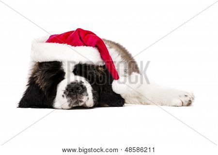 Christmas St Bernard Puppy On White