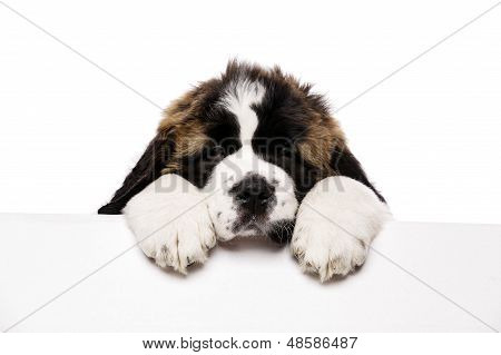St Bernard Puppy Looking Over A Blank Sign
