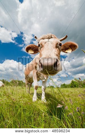 Photo of happy and healthy cow in ecological farm poster