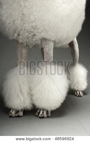 Low section of Standard White Poodle on grey background poster