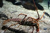 Clawed lobsters compose a family (Nephropidae sometimes also Homaridae) of large marine crustaceans. Lobsters are economically important as seafood forming the basis of a global industry that nets US$1.8 billion in trade annually. poster