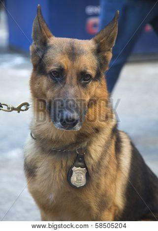 NYPD transit bureau K-9 German Shepherd providing security on Broadway during Super Bowl XLVIII