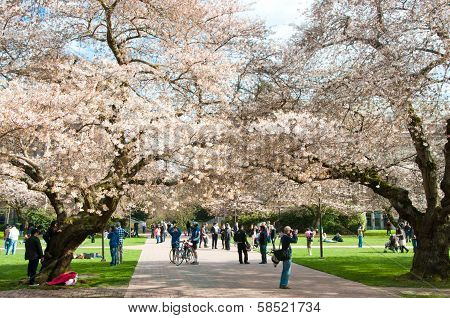 University of Washington Blooming Cherry Trees