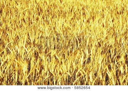 Wheat background (ears in yellow)