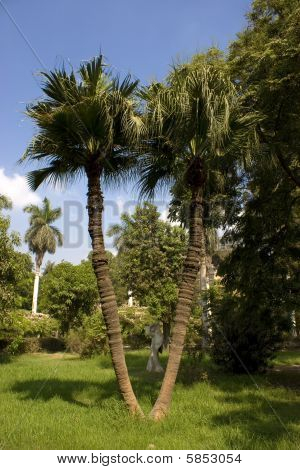a twin palm trees inside a garden in Cairo Egypt. poster