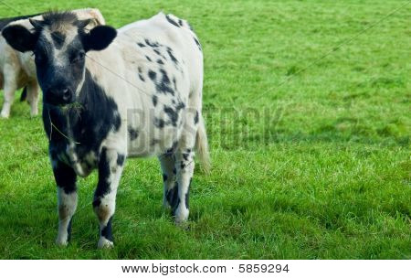 Young Bullock