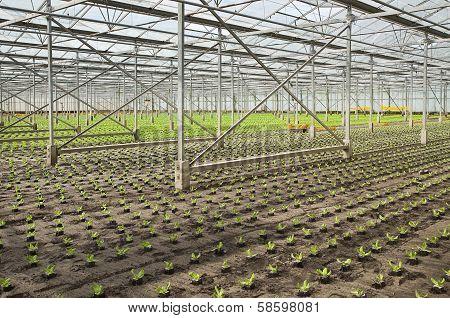 Planting New Young Salad Plants In Glasshouse
