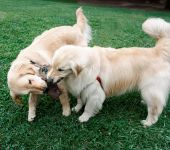 This is an image of two dogs playing tug of war. poster