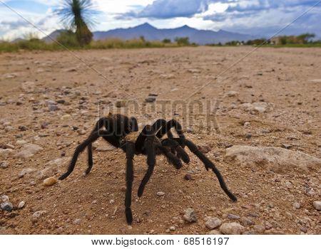 A Costa Rican, Also Known As Desert, Tarantula