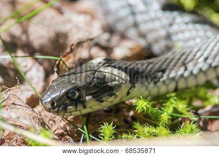 Grass Snake Or Natrix Natrix Head