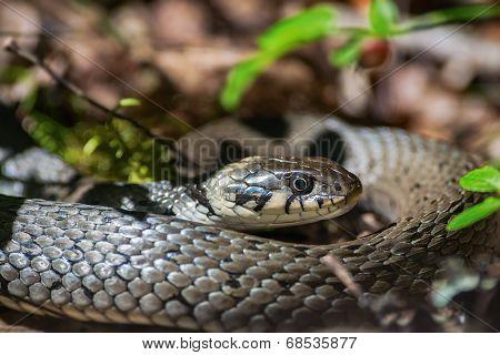 Grass Snake Or Natrix Natrix On Forest Floor