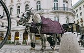 Vienna Austria a pair of horses harnessed to a carriage. poster