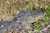 american alligator in swampland in southern Florida poster