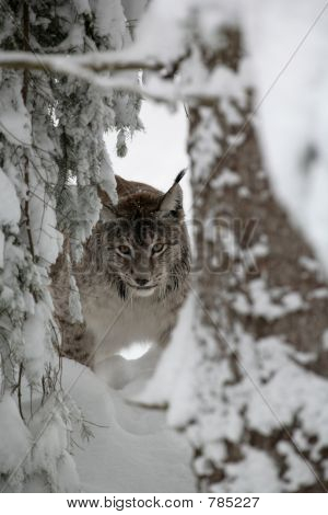 lynx on the snow in the wood poster