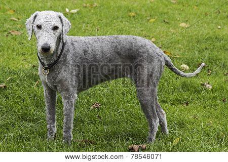 Freshly Clipped Bedlington Terrier