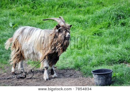 White chained goat looking into a pot poster