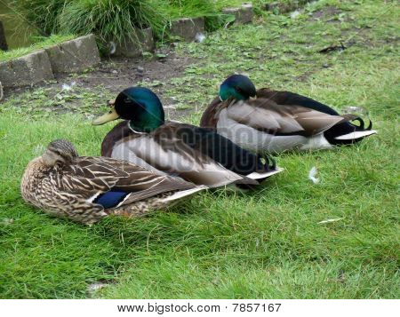 three ducks in green grass